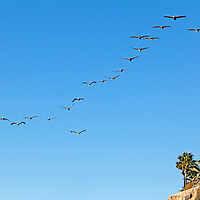 USA, California, San Diego. Pelican formation.