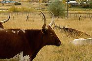 Longhorn Cattle, cow