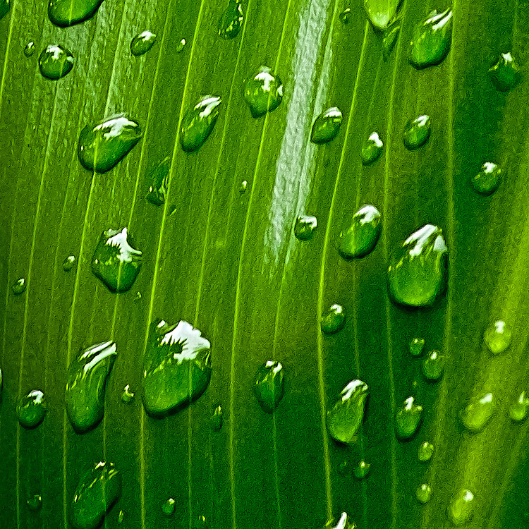 Raindrops on ti leaves in Hawaii