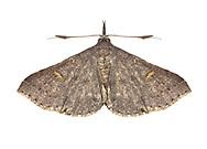 Speckled Renia Moth - Hodges#8386 (Renia adspergillus)<br /> ALABAMA: Tuscaloosa Co.<br /> Tulip Tree Springs off Echola Rd.; Elrod<br /> 9-April-2016<br /> J.C. Abbott #2793 &amp; K.K. Abbott
