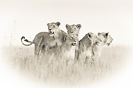 These gorgeous young lions survey their territory from the top of a termite hill in Serengeti.  At least three of them are young males - their manes have only just begun to show.<br /> LIMITED EDITION PRINT