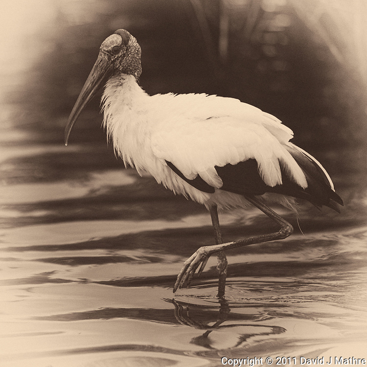 Wood Stork along Black Point Wildlife Drive in Merritt Island Wildlife Refuge. Image taken with a Nikon D3s and 600 mm f/4 VR lens (ISO 640, 600 mm, f/4, 1/640 sec). Image converted to B&W with Nik Silver Efex Pro 2.