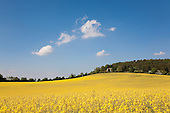 Field of yellow rapeseed oil (canola) agriculture, Gloucestershire, England