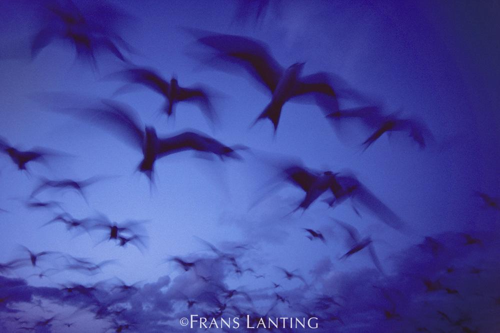Sooty terns in flight at dusk, Onychoprion fuscata, French Frigate Shoals, Hawaiian Leeward Islands