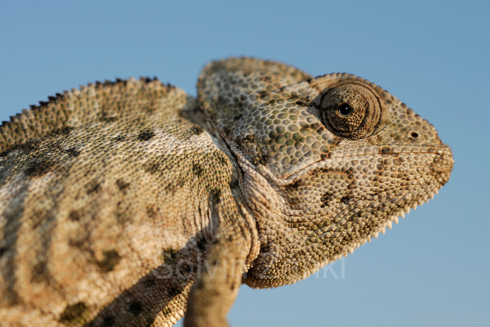 Unmistakeable in its outer appearance the Mediterranean chameleon or Common chameleon (Chamaeleo chamaeleon) is perfectly designed to climb, to camouflage and to peer all around.