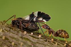 Ants and aphids have a mutualistic relationship. Ants feed on the honeydew excreted by the aphids, and in exchange, they protect the aphids   Eine Ameise (Lasius spec.) klopft mit ihren Antennen auf den Hinterkörper der Blattlaus und nimmt den daraufhin von der Blattlaus ausgeschiedenen Baumsaft-Tropfen auf.