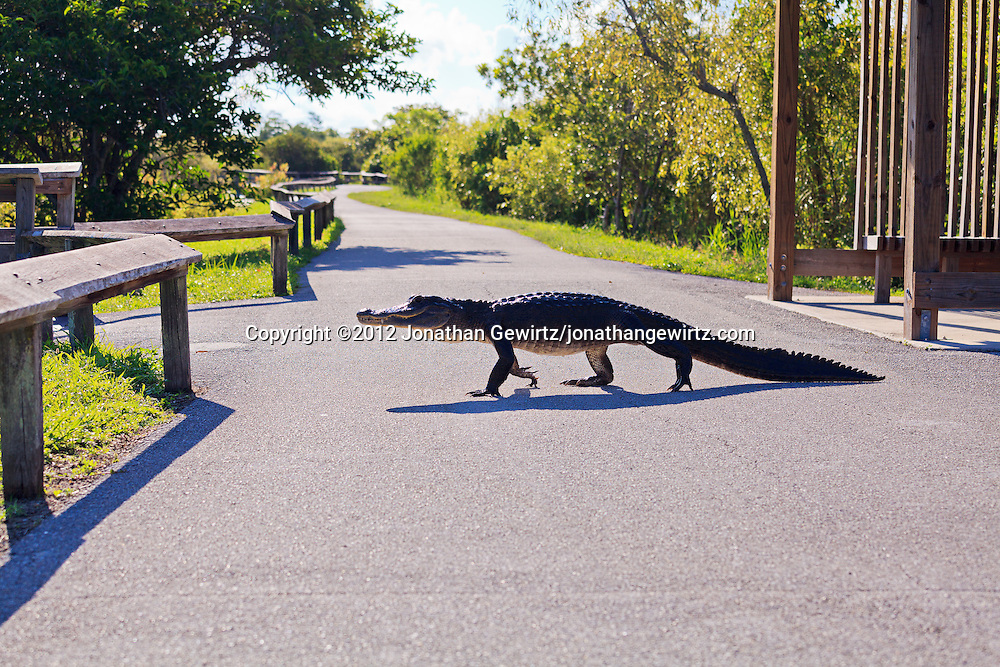 An American Alligator (Alligator mississippiensis) walks across the Anhinga Trail in Everglades National Park, Florida. <br />