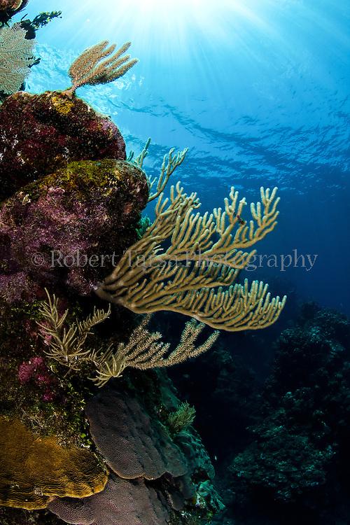 Coral head with sun burst.