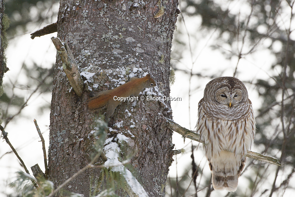 Barred Owl, sleepy. Red squirrel curious