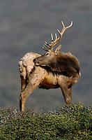 A Tule elk (Cervus elaphus nannodes) stands on a ridge grooming its right flank.