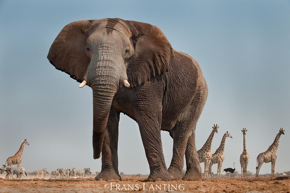 Elephant, Loxodonta africana, Etosha National Park, Namibia