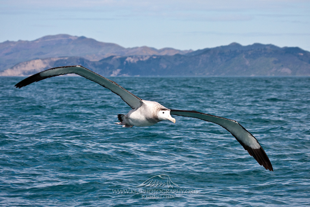 Antipodean Albatross, Kaikoura, New Zealand