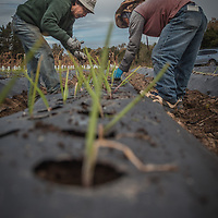 "Mouang, Chan and Sou plant sweet onions near the city of Napa.  ""We plan now and harvest in April.""  -Mouang   (The lu Mien immigrated from the hill tribes of Laos and Thailand and assimilated in the United States after the Vietnam war between 1975 and 2008.  While the larger communities are in Oregon and Minnesota, some of the lu Mien settled in California's Napa Valley."
