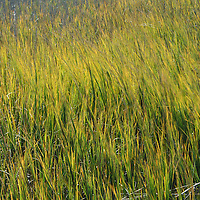 Marsh grass is blown by the wind in South Carolina.