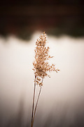 beautiful reed by a pond in The Hamptons