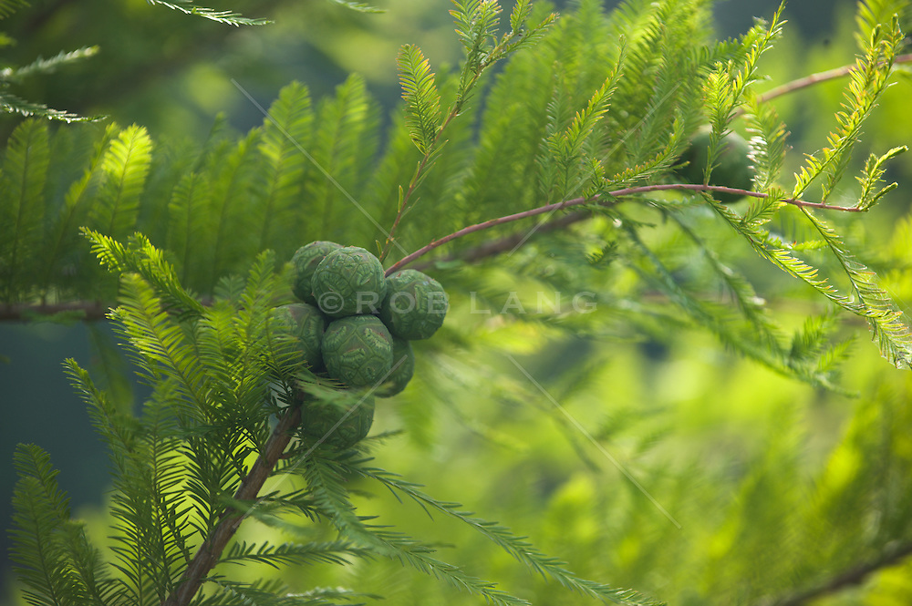 Early stages of a pine cone
