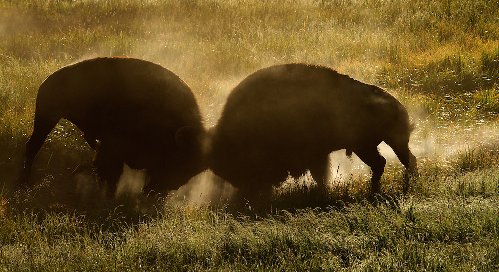 During the rutting season, a dominant bull bison warns off challengers by swinging his horns, bellowing and pawing the earth. If the challenger remains undaunted, the two bulls will clash in a head on battle for supremacy within the herd.