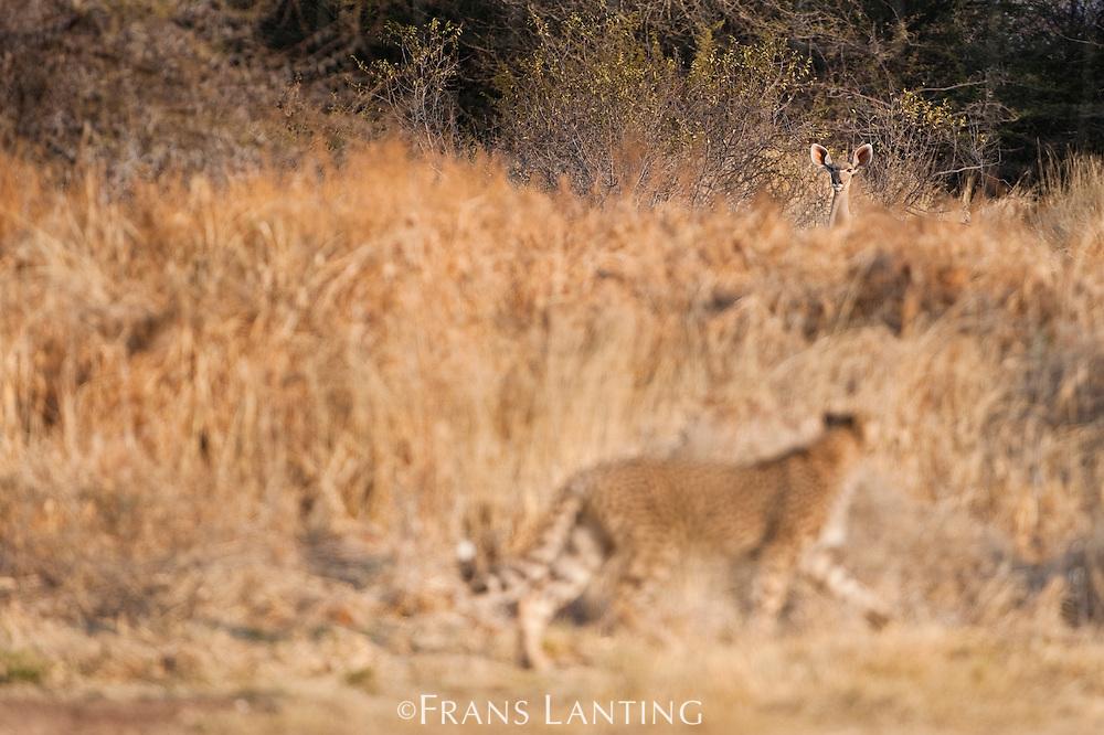 Cheetah watching kudu, Acinonyx jubatus, Cheetah Conservation Fund, Namibia