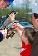 Alaska. Potter. Peregrine Falcon with trainer.
