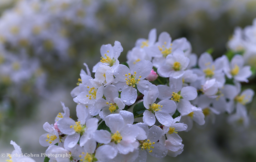 &quot;Fresh as Morning Air&quot;<br /> <br /> Lovely pure white apple blossoms in a spring rain!