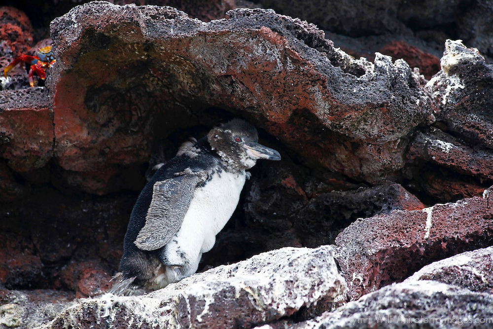 South America, Ecuador, Galapagos Islands. Galapagos Penguin on San Cristobal island.