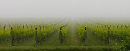 Vines in the fog, Shinn Estate Vineyard, Mattituck, Oregon Road, Long Island, New York North Fork, Panorama