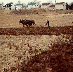 Amish farmer mule team plows near suburban housing developement rural encroachment copy space Lancaster PA Pennsylvania