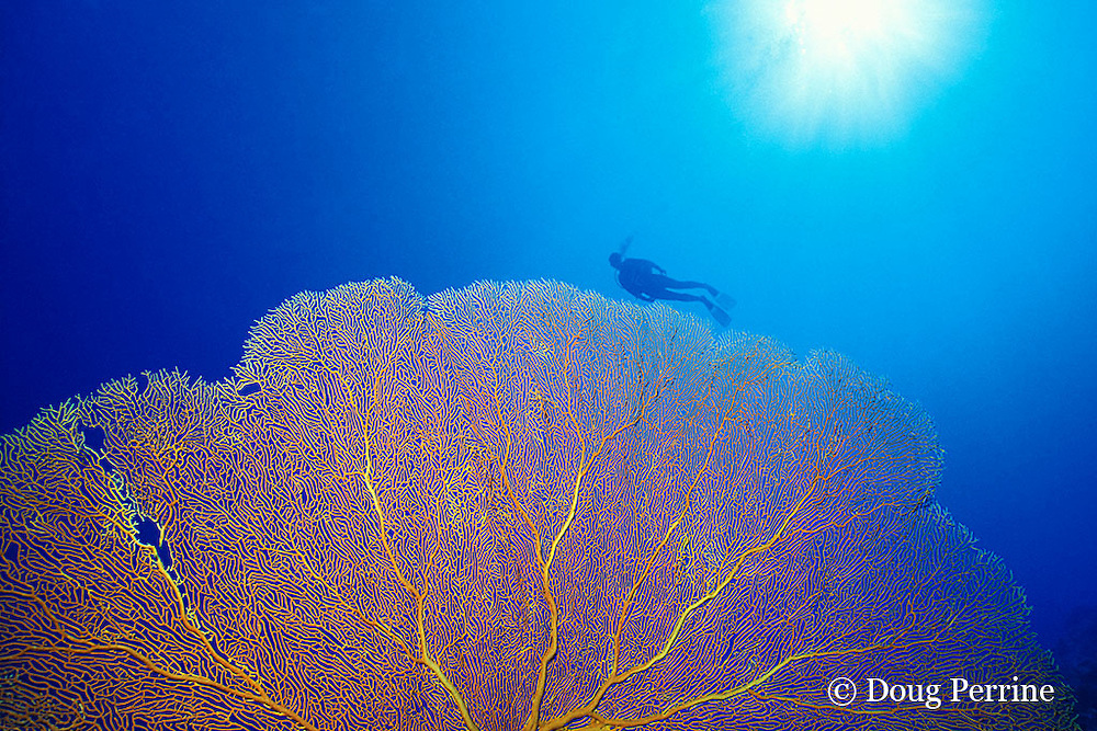 diver and sea fan, Flinders Reef, Coral Sea, Queensland, Australia ( Western Pacific Ocean ) MR 208