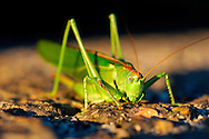Grasshopper at sunset - Magurski National Park, Poland