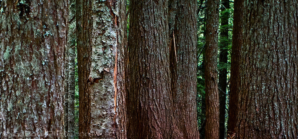 Douglas Fir (Pseudotsuga menziesii) tree trunks in a temperate coniferous forest grow thick in the Tahoma State Forest - Cascade Mountain Range, Washington state, USA panorama