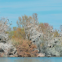 Black cormorants flying, Aiguabarreig Natural Reserve. Aragon. .