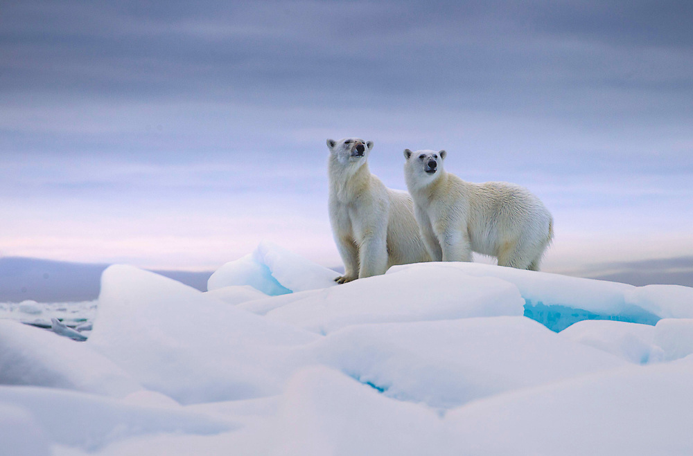Polar bear (Ursus maritimus) mother with her one-and-a-half year old cub, taken on drift ice in Storfjorden @ Svalbard