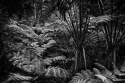 An assortment of ferns including Hapu'u tree ferns in the wet forest in a small crater near the Thurston Lava Tube (Nahuku) in Hawaii Volcanoes National Park on the Big Island of Hawaii.