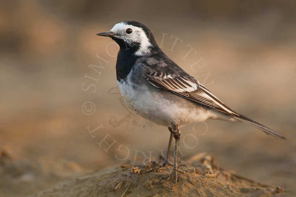 Pied Wagtail (Motacilla alba yarrellii) adult on ploughed field, Norfolk, UK.