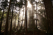 Sunlight burns through mist in the forest on Stuart Island, a remote isle part of the San Juan Islands.<br /> <br /> Erika Schultz / The Seattle Times