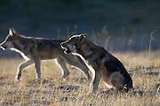 Wolf, Canis lupus, pup of Grant Creek pack, alpine tundra, autumn, howling, horizontal, Denali National Park, Alaska, wild