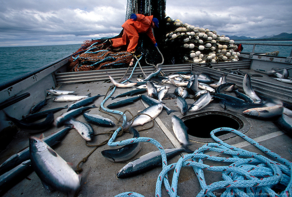 Picking freshly netted salmon on a purse seine commercial fishing boat in Kodiak, Alaska.