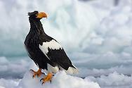 Stellar's Sea Eagle perched on a block of ice, Hokkaido Island, Japan