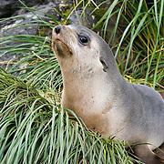 Antarctic Fur Seal.Arctocephalus gazella.Jason Harbor, South Georgia.24 January 2003