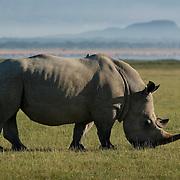 Black rhino, Lake Nakuru National Park, Kenya
