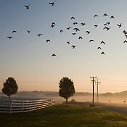 A flock of birds flies over the white fence that surrounds the Horse Paddocks at the Tufts University Cummings School of Veterinary Medicine's Hospital for Large Animals in Grafton. (Melody Ko/Tufts University)
