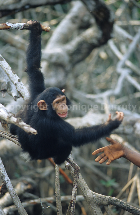 chimpanzees ( coming from zoos or capturated for being pets ) are first put in an island where they are feeeded once or twice a day according to the groups. The most independent ones will be put back to wild life.