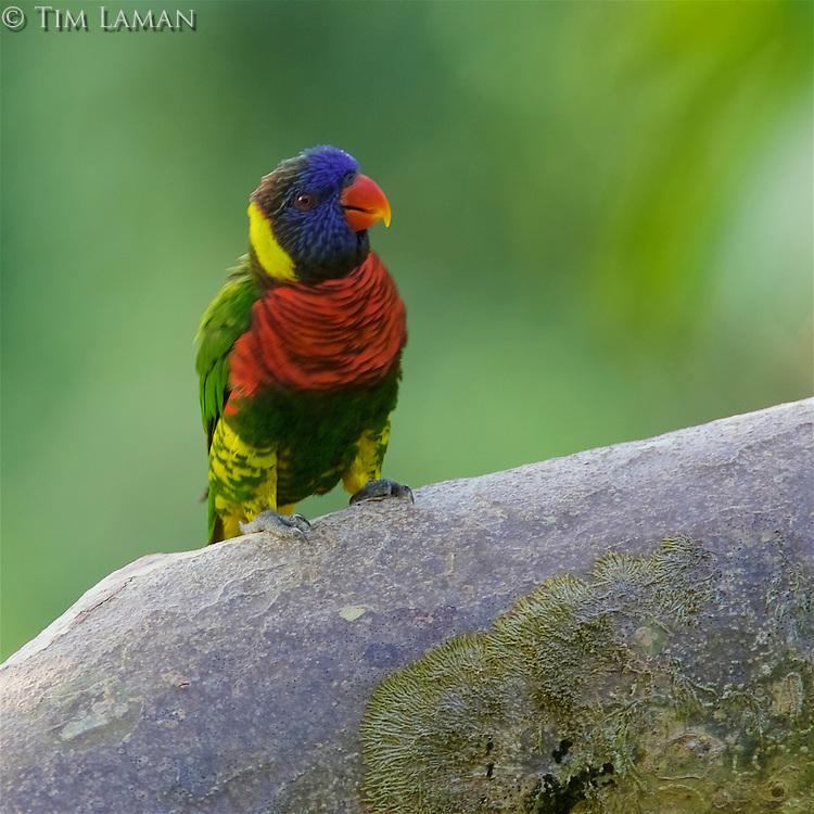 Rainbow Lorikeet<br />Trichoglossus haematodus