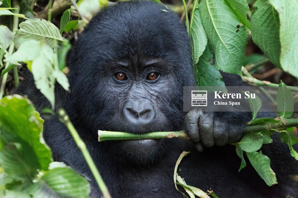 Gorilla in the forest, Bwindi Impenetrable National Park, Uganda