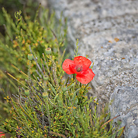 Red Poppy blossom along a stone wall.