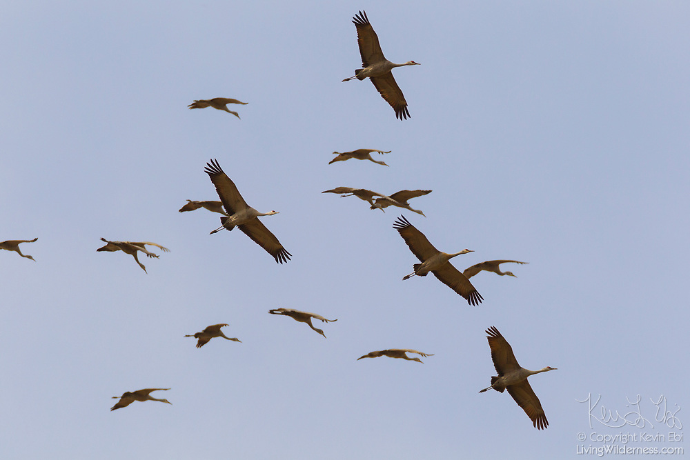 A flock of sandhill cranes (Grus canadensis) circles over the Columbia National Wildlife Refuge in Washington state.
