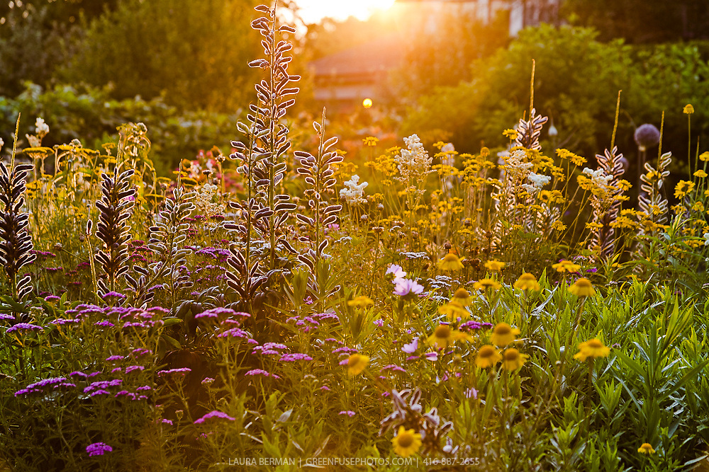 Mixed perennial flower garden in the sunlight. Lupin seeds are prominently backlit with pink and yellow flowers in the foreground.
