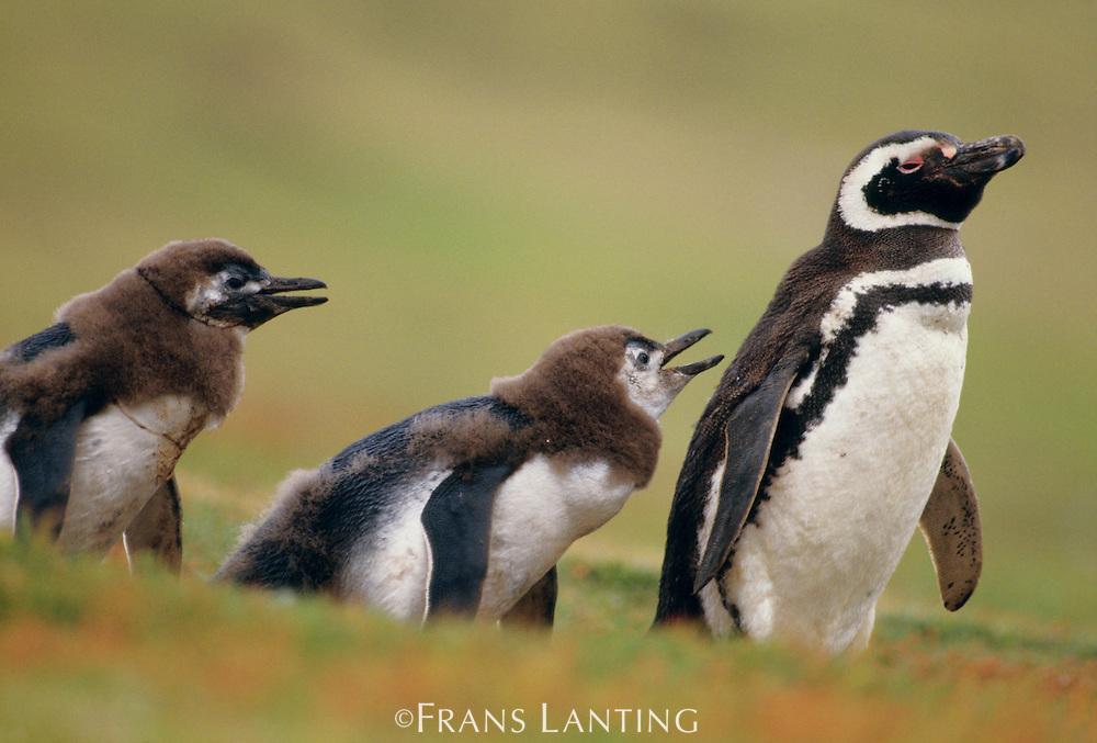 Magellanic penguin with molting chicks, Spheniscus magellanicus, Falkland Islands