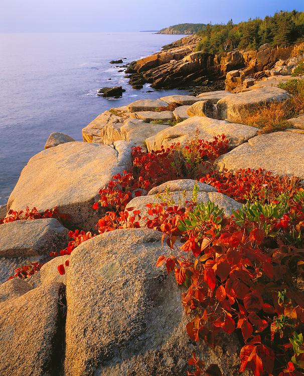 0901-1003LVT ~ George H. H. Huey ~ Poison ivy [autumn] growing in granite along the Ocean Trail. Mt. Desert Island. Atlantic Ocean. Acadia National Park, Maine.