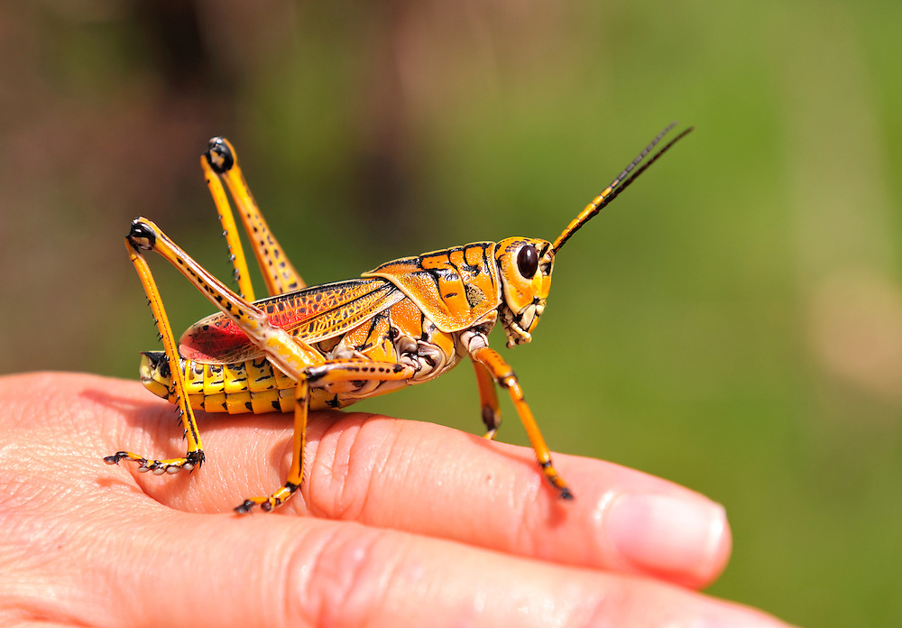 Lubber Grasshopper at Corkscrew Swamp Sanctuary, near Fort Myers, Florida, USA